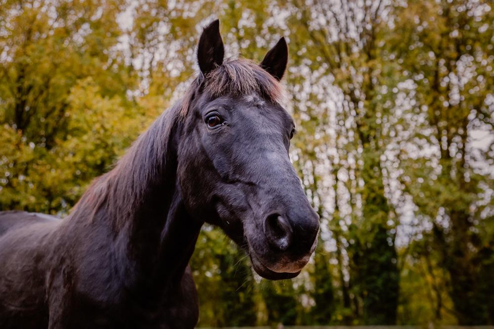 photographe equestre Nantes cheval