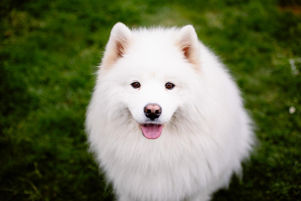 portrait chien Nantes