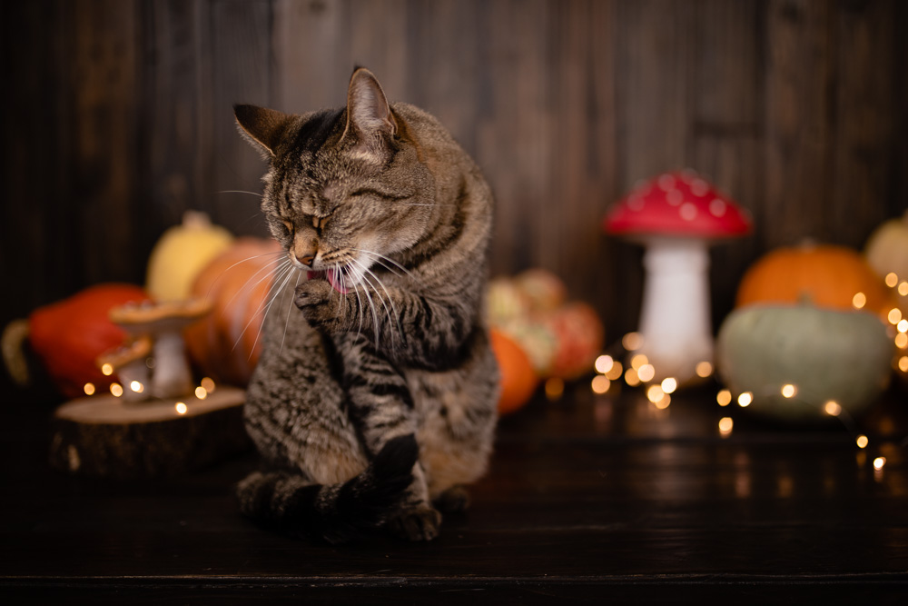 chat automne photographier son animal