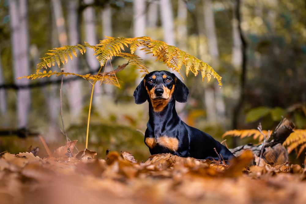 teckel forêt automne chien