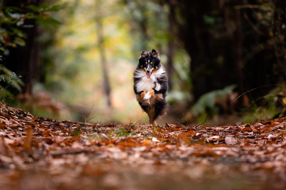 berger des shetland forêt photo