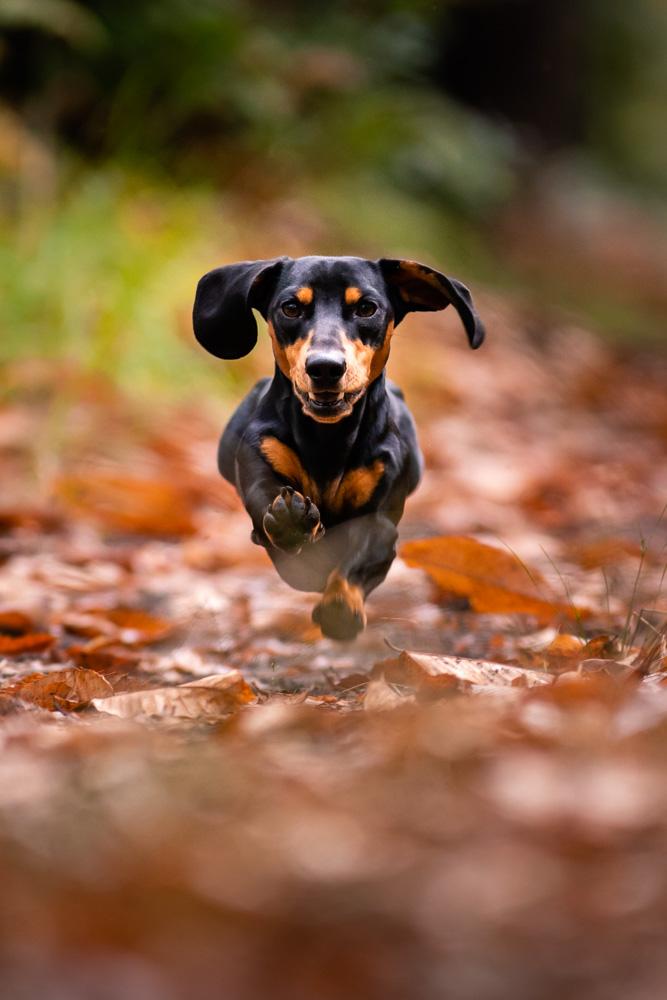Séance photo canine teckel