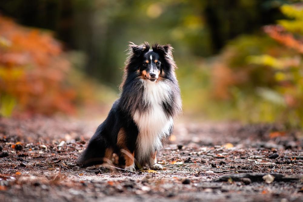 berger des shetland portrait chien Nantes